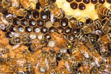 Giresun'da Ana Arı Üretim Kapasitesi Artıyor | Köy Kahvesi